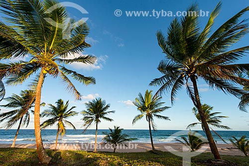 Coqueiros na Praia de Arandi  - Maraú - Bahia (BA) - Brasil