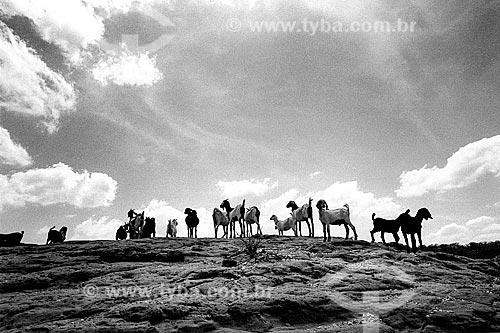 Rebanho de cabras no sertão  - Canudos - Bahia (BA) - Brasil