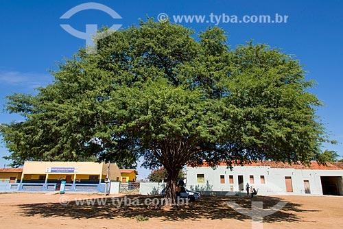 Algaroba (Prosopis juliflora)  - Cedro - Pernambuco (PE) - Brasil