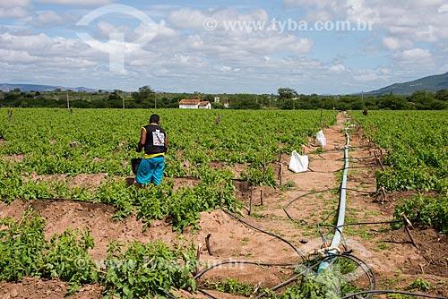 Trabalhador rural aplicando adubo em plantação de tomate-italiano irrigado no Sertão Pernambucano  - Arcoverde - Pernambuco (PE) - Brasil