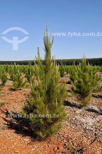 Plantação de pinheiro  - Sacramento - Minas Gerais (MG) - Brasil