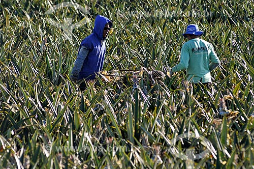 Trabalhadores rurais colhendo abacaxi tipo pérola  - Frutal - Minas Gerais (MG) - Brasil