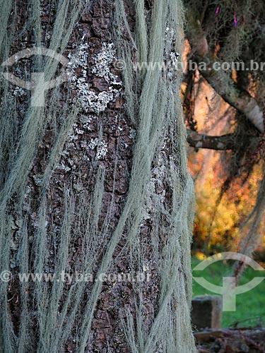 Detalhe do tronco de Araucária (Araucaria angustifolia) coberto por musgo  - São Francisco de Paula - Rio Grande do Sul (RS) - Brasil