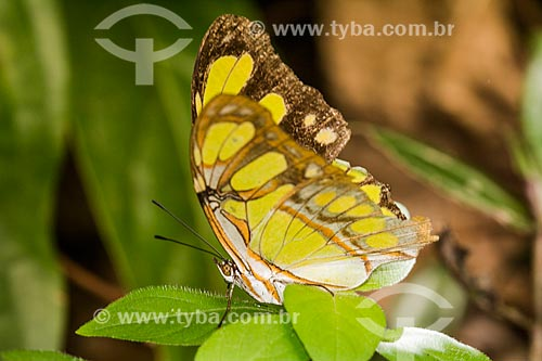 Detalhe da borboleta Siproeta stelenes - também conhecida como Malaquita  - Rio de Janeiro - Rio de Janeiro (RJ) - Brasil