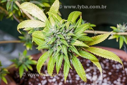 Detalhe de flores da maconha (Cannabis sativa)