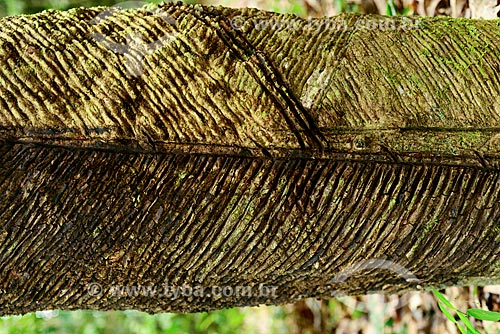 Detalhe do tronco de Seringueira (Hevea brasiliensis) na Floresta Nacional do Tapajós  - Santarém - Pará (PA) - Brasil