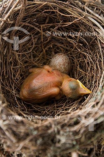 Filhote de sabiá-coleira (Turdus albicollis) e ovo no ninho  - Rio de Janeiro - Rio de Janeiro (RJ) - Brasil