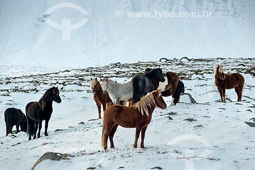 Cavalos islandeses (Equus ferus caballus) na região de Akureyri  - Akureyri - Northeastern Region - Islândia