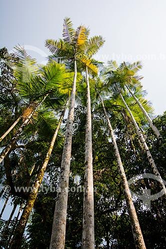 Içaras (Euterpe edulis Martius) - também conhecidas como juçara, jiçara ou palmito-juçara - na Área de Proteção Ambiental da Serrinha do Alambari  - Resende - Rio de Janeiro (RJ) - Brasil