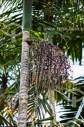 Detalhe do fruto do içara (Euterpe edulis Martius) - também conhecida como juçara, jiçara ou palmito-juçara - na Área de Proteção Ambiental da Serrinha do Alambari  - Resende - Rio de Janeiro (RJ) - Brasil