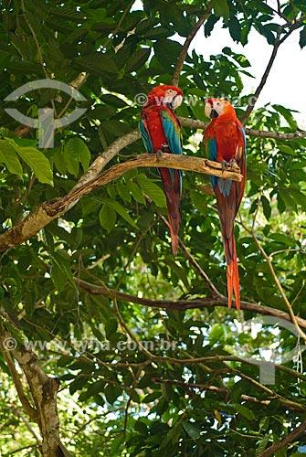 Casal de Arara-vermelha (Ara chloropterus) - também conhecida como araracanga ou arara-macau  - União dos Palmares - Alagoas (AL) - Brasil