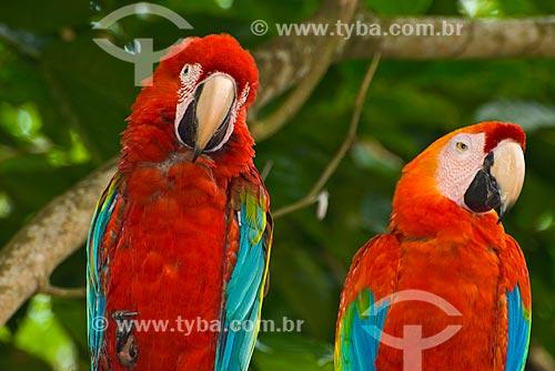 Detalhe de casal de Arara-vermelha (Ara chloropterus) - também conhecida como araracanga ou arara-macau  - União dos Palmares - Alagoas (AL) - Brasil