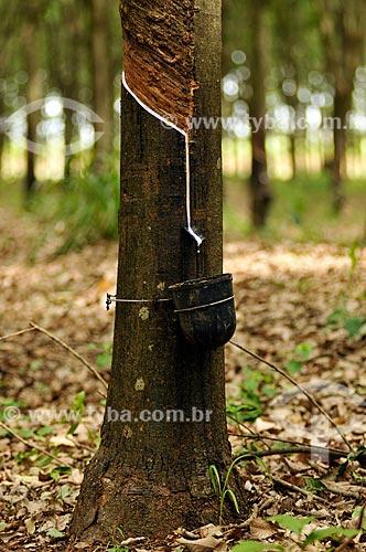 Coleta de látex em seringueira (Hevea brasiliensis)  - Neves Paulista - São Paulo (SP) - Brasil