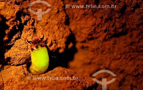 Detalhe da larvas do vaga-lume Pyrearinus termitilluminans - em noites úmidas, mornas, sem vento e sem lua, as larvas aparecem do lado de fora dos túneis,