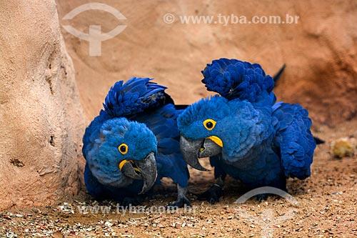 Casal de Arara-azul-grande (Anodorhynchus hyacinthinus) - também chamada araraúna, arara-preta ou araruna - no Parque das Aves  - Foz do Iguaçu - Paraná (PR) - Brasil