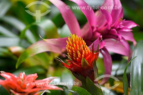 Flor de bromélia da espécie guzmania no Parque das Aves  - Foz do Iguaçu - Paraná (PR) - Brasil