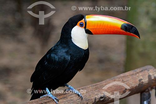 Tucano-toco (Ramphastos toco) no Parque das Aves  - Foz do Iguaçu - Paraná (PR) - Brasil