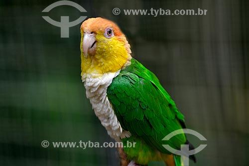Marianinha-de-cabeça-amarela (Pionites leucogaster) no Parque das Aves  - Foz do Iguaçu - Paraná (PR) - Brasil