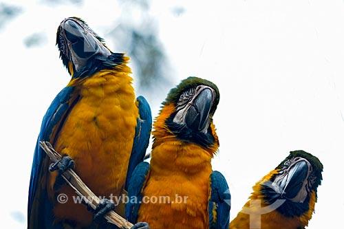 Bando de Araras-Canindé (Ara ararauna) - também conhecida como Arara-de-barriga-amarela - no Parque das Aves  - Foz do Iguaçu - Paraná (PR) - Brasil