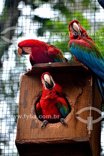 Bando de Araras-vermelhas (Ara chloropterus) - também conhecida como araracanga ou arara-macau - no Parque das Aves  - Foz do Iguaçu - Paraná (PR) - Brasil