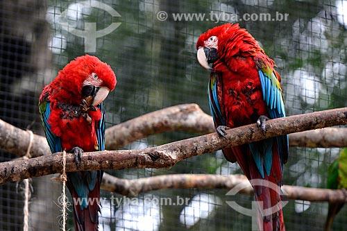 Casal de Araras-vermelhas (Ara chloropterus) - também conhecida como araracanga ou arara-macau - no Parque das Aves  - Foz do Iguaçu - Paraná (PR) - Brasil