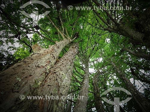 Detalhe do Pinheiro-do-brejo (Taxodium distichum) no Parque Estadual Alberto Löfgren - também conhecido como Horto Florestal  - São Paulo - São Paulo (SP) - Brasil