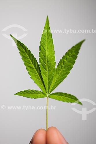 Detalhe da folha da maconha (Cannabis sativa)