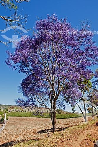 Ipê-roxo (Handroanthus impetiginosus) na estrada entre Cambuquira e Três Corações  - Cambuquira - Minas Gerais (MG) - Brasil