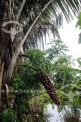 Cacho do fruto do Tucumã (Astrocaryum aculeatum) - também conhecida como Acaiúra ou Tucum - próximo à Manaus  - Manaus - Amazonas (AM) - Brasil