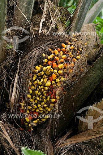 Frutos do Tucumã (Astrocaryum aculeatum) - também conhecida como Acaiúra ou Tucum - próximo à Manaus  - Manaus - Amazonas (AM) - Brasil