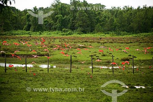 Bando de Guarás-vermelho (Eudocimus ruber)  - Soure - Pará (PA) - Brasil