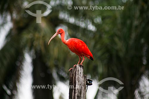 Detalhe de Guará-vermelho (Eudocimus ruber)  - Soure - Pará (PA) - Brasil
