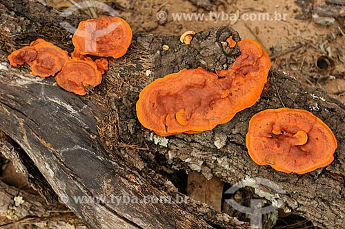 Detalhe do fundo Orelha-de-pau (Pycnoporus sanguineus) em um tronco  - Serranópolis - Goiás (GO) - Brasil