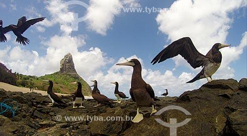 Atobá-pardo (Sula leucogaster) na Praia da Conceição com o Morro do Pico ao fundo  - Fernando de Noronha - Pernambuco (PE) - Brasil
