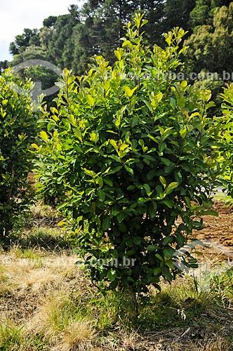 Árvore de erva-mate (Ilex paraguariensis) próximo à cidade de São Mateus do Sul  - São Mateus do Sul - Paraná (PR) - Brasil