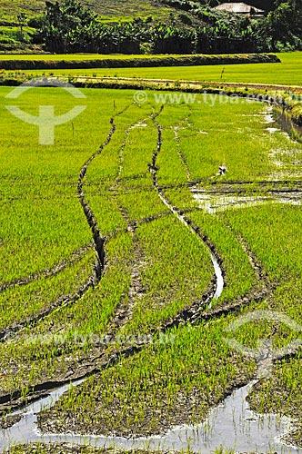 Plantação de arroz na zona rural da cidade de Doutor Pedrinho  - Doutor Pedrinho - Santa Catarina (SC) - Brasil
