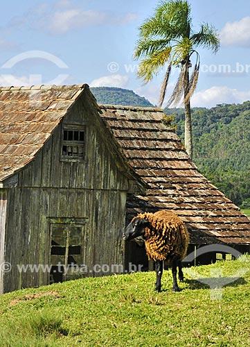 Cordeiro com a pele negra e com a lã castanha na zona rural da cidade de Doutor Pedrinho  - Doutor Pedrinho - Santa Catarina (SC) - Brasil