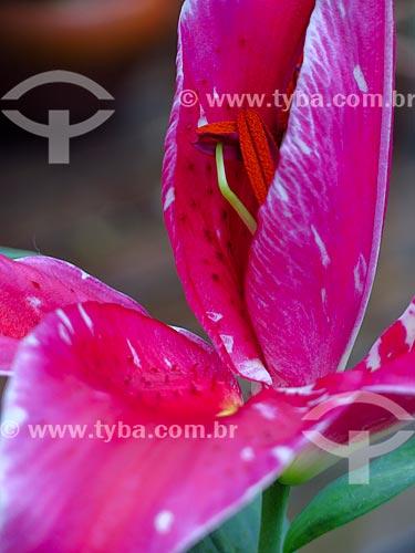Lirio vermelho com estame aparente  - Canela - Rio Grande do Sul (RS) - Brasil