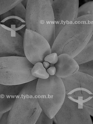 Detalhe de flor  - Canela - Rio Grande do Sul (RS) - Brasil