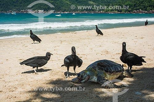 Urubus comendo tartaruga marinha morta na Praia do Sono  - Paraty - Rio de Janeiro (RJ) - Brasil