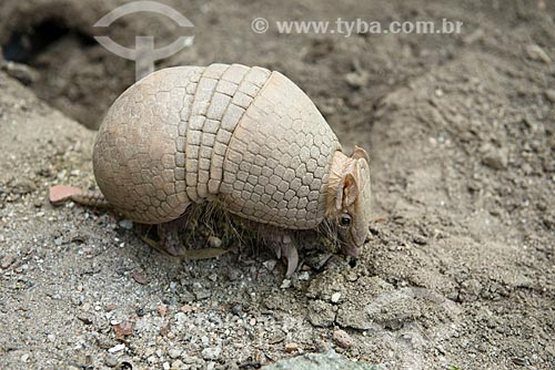 Tatu-bola-da-caatinga (Tolypeutes tricinctus)  - Rio de Janeiro - Rio de Janeiro (RJ) - Brasil