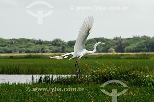 Garça-branca-grande (Ardea alba) voando na Lagoa do Santo Amaro  - Santo Amaro do Maranhão - Maranhão (MA) - Brasil