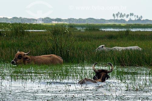 Gado na Lagoa do Santo Amaro  - Santo Amaro do Maranhão - Maranhão (MA) - Brasil