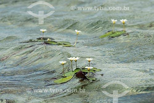 Detalhe da Estrela-Branca (Nymphoides humboldtiana) em lagoa no Parque Nacional dos Lençóis Maranhenses  - Santo Amaro do Maranhão - Maranhão (MA) - Brasil