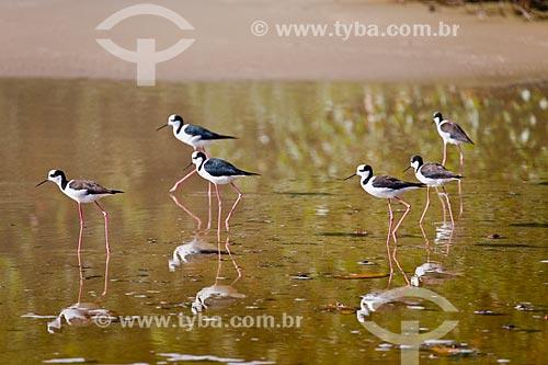 Pernilongo-de-costas-brancas (Himantopus melanurus) na orla da Praia da Lagoinha  - Florianópolis - Santa Catarina (SC) - Brasil