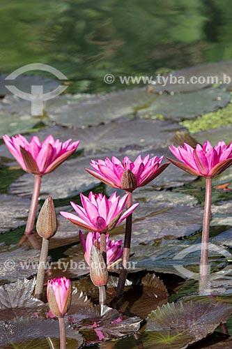 Detalhe de flores da vitória-régia (Victoria amazonica) no Jardim Botânico do Rio de Janeiro  - Rio de Janeiro - Rio de Janeiro (RJ) - Brasil