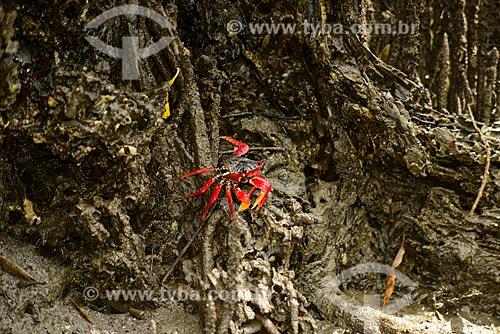 Caranguejo Maria-mulata ou aratu-vermelho (Goniopsis cruentata) - Manguezal no Saco de Mamanguá  - Paraty - Rio de Janeiro (RJ) - Brasil
