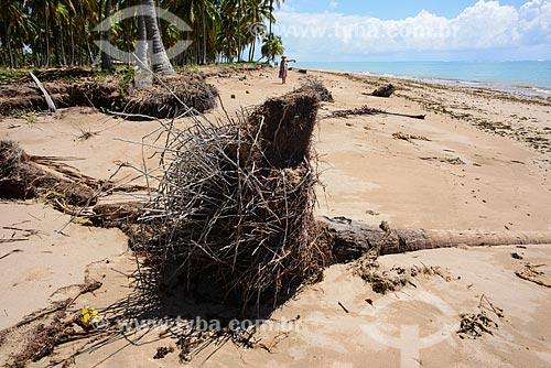 Tronco de coqueiros tombado pelo avanço da maré na Praia do Patacho - Rota Ecológica de Alagoas  - Porto de Pedras - Alagoas (AL) - Brasil