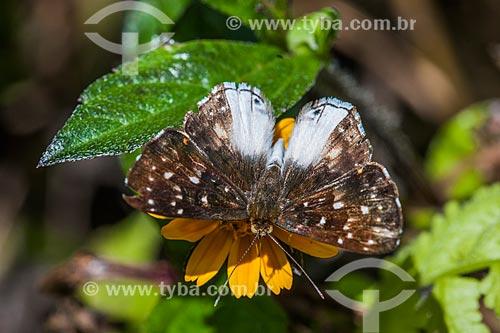 Borboleta em flor de Margarida na Área de Proteção Ambiental da Serrinha do Alambari  - Resende - Rio de Janeiro (RJ) - Brasil