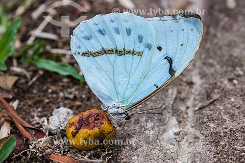 Borboleta Azul comendo fruto do Araçá na Área de Proteção Ambiental da Serrinha do Alambari  - Resende - Rio de Janeiro (RJ) - Brasil